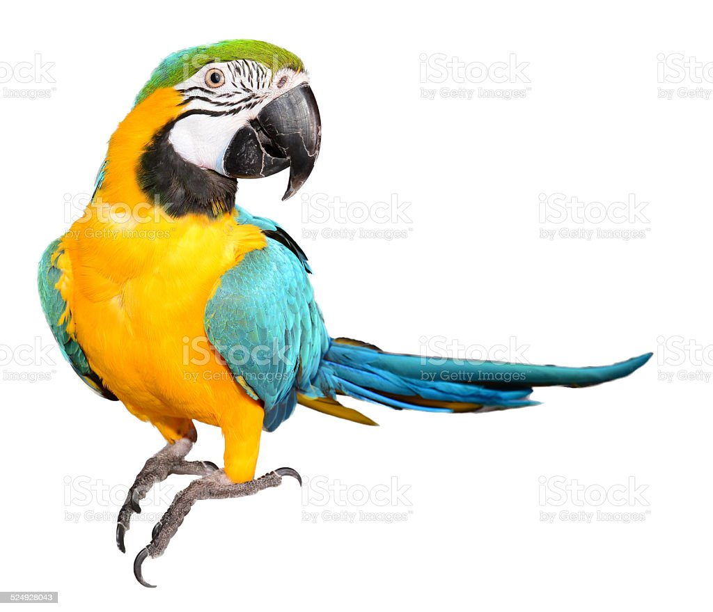 Blue Macaw Parrot stock photo
