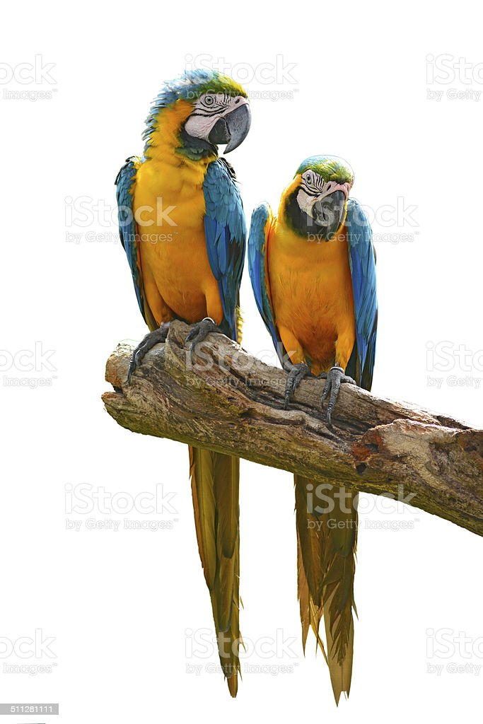 blue macaw parrots stock photo