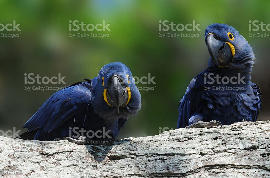 Blue Macaw stock photo
