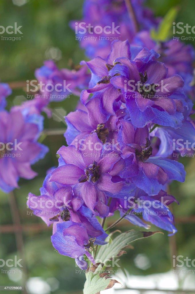 Blue Magic Fountain Larkspur, Delphinium elata royalty-free stock photo