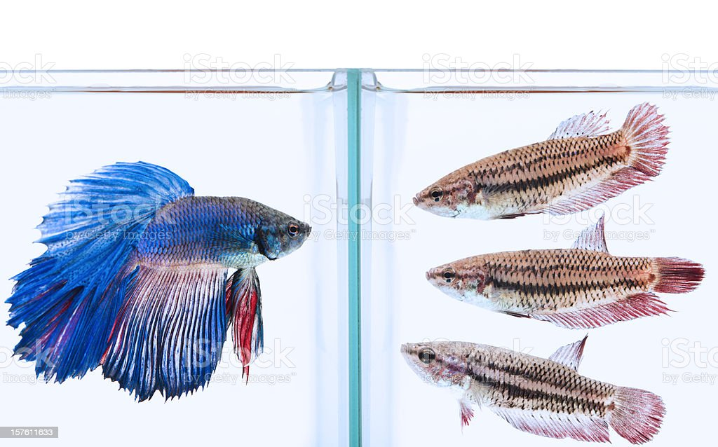 blue male and three female siamese fighting fish stock photo