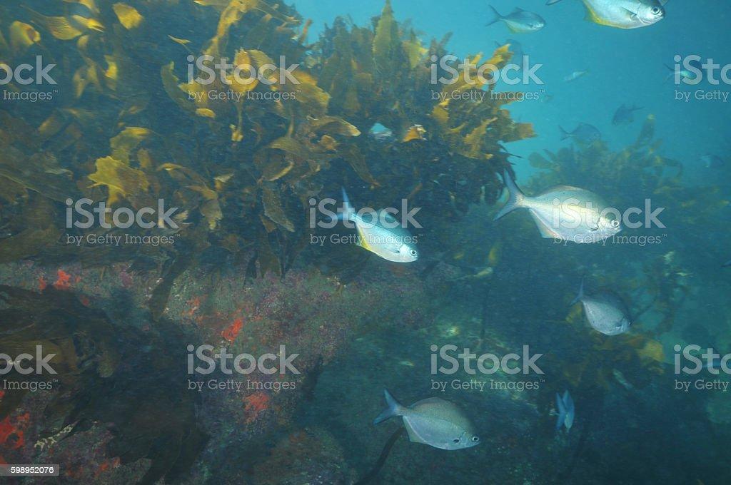 Blue maomao among kelp stock photo