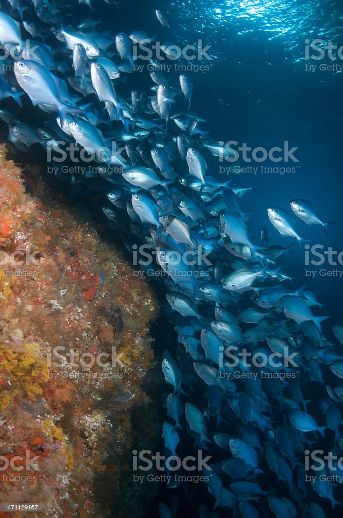 Blue maomao and reef stock photo