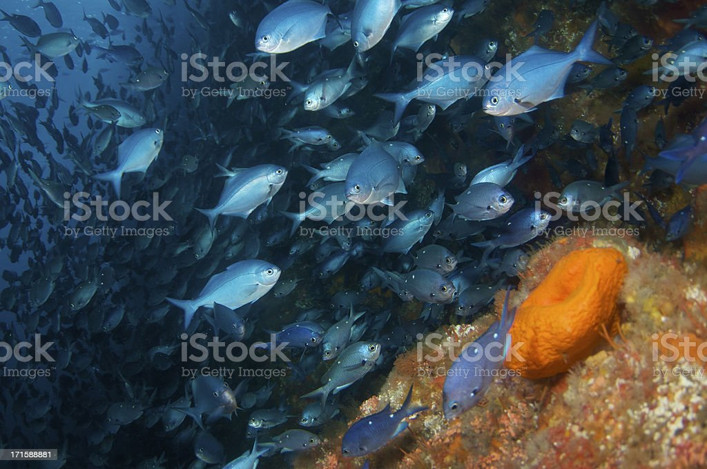 Blue MaoMao and sponge stock photo
