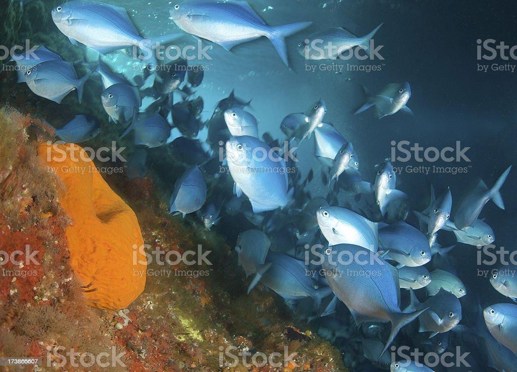 Blue Mao-Mao fish stock photo