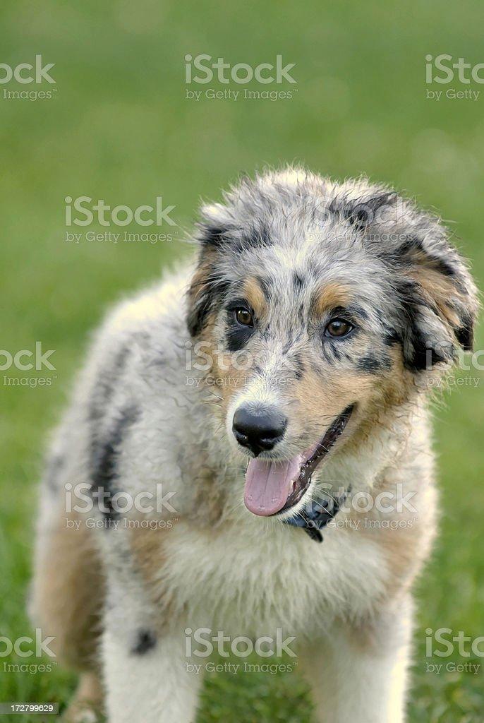 Blue Merle Australian shepherd puppy royalty-free stock photo