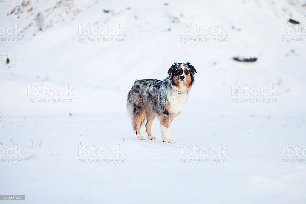 Blue merle dog standing in the snow. stock photo