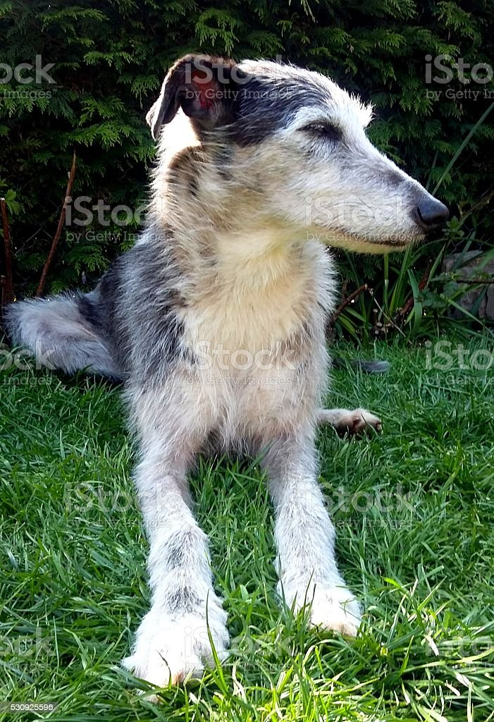 Blue merle lurcher, rough coated, laying down stock photo