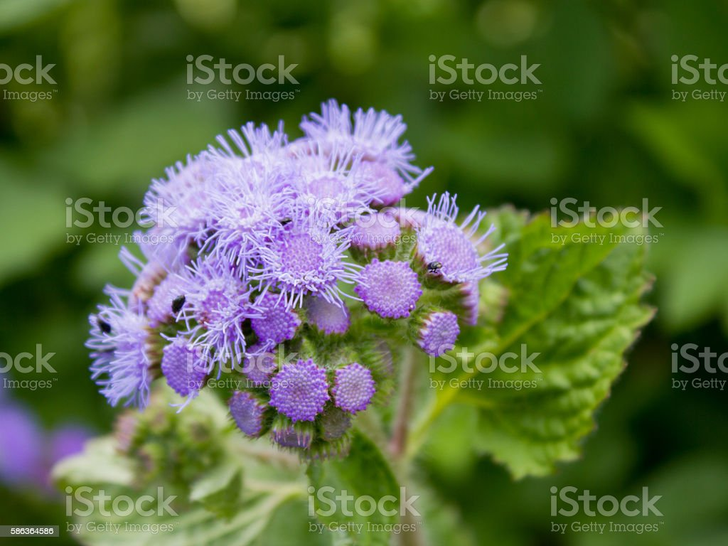 Blue mink (Ageratum houstonianum), close-up stock photo