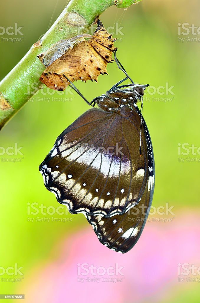 Blue Moon Butterfly newly transformed royalty-free stock photo