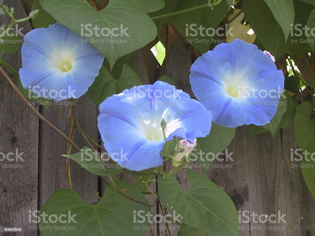 Blue Morning Glories royalty-free stock photo