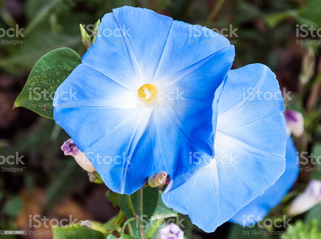 Blue morning glory flower stock photo