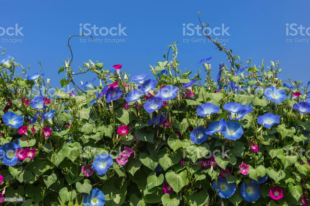 blue morning glory flowers climbing on the wall stock photo