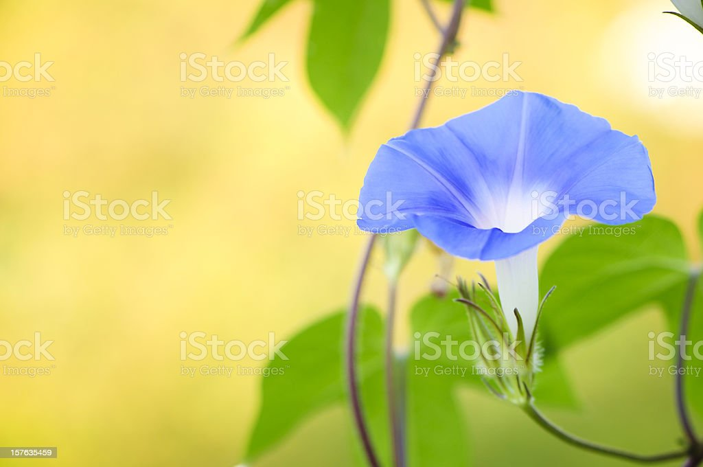 Blue Morning Glory stock photo