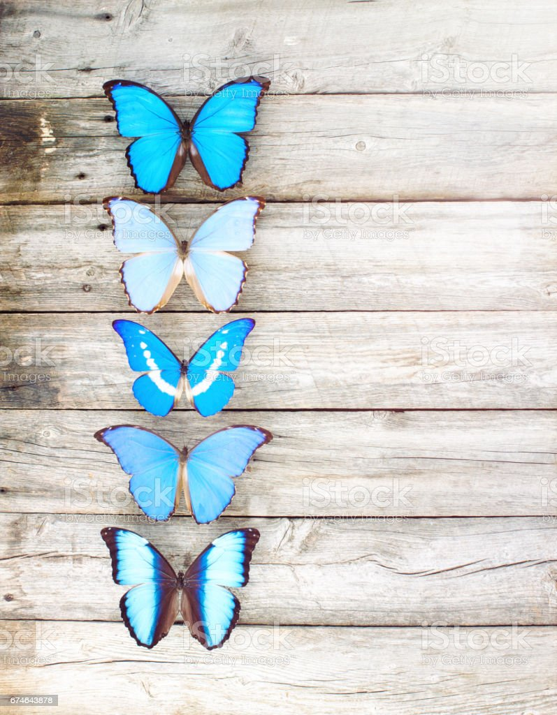 Blue Morpho butterflies in a row old wood background stock photo