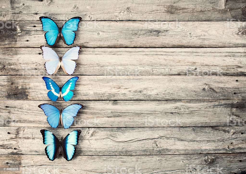 Blue Morpho Butterflies in a Row on Old Wood Background stock photo