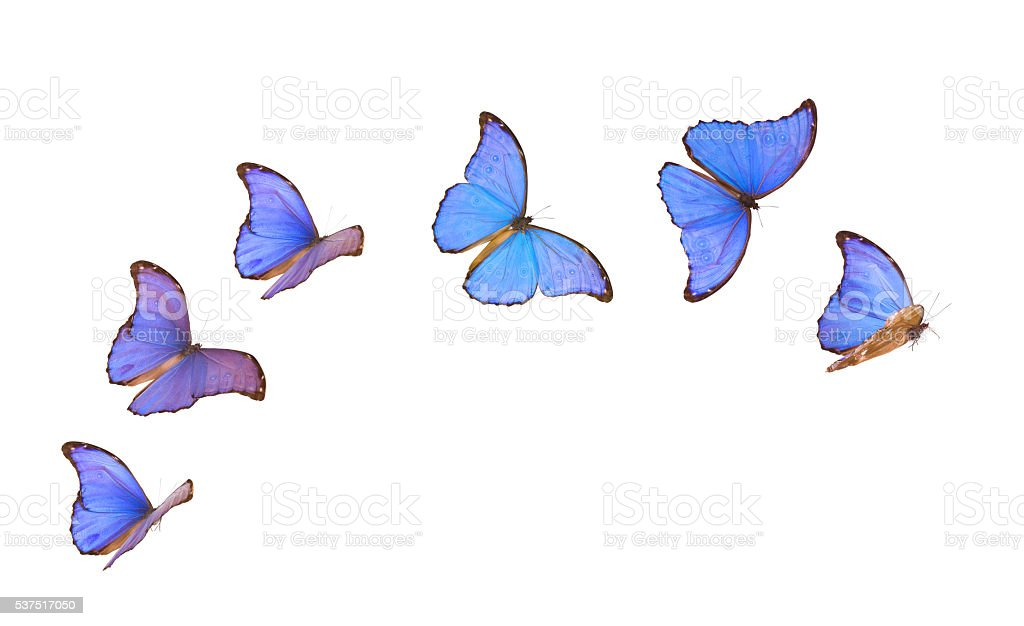 Blue Morpho Butterflies in Various Flying Positions Isolated on White stock photo