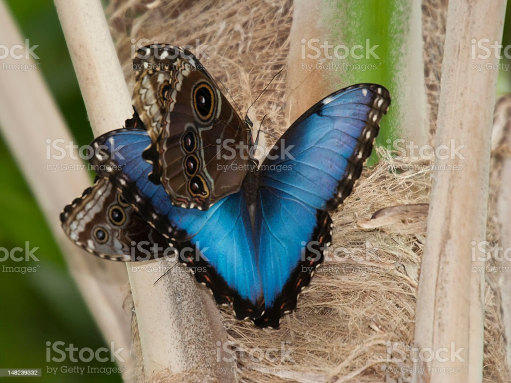 Blue Morpho Butterflies Mating on Reed royalty-free stock photo
