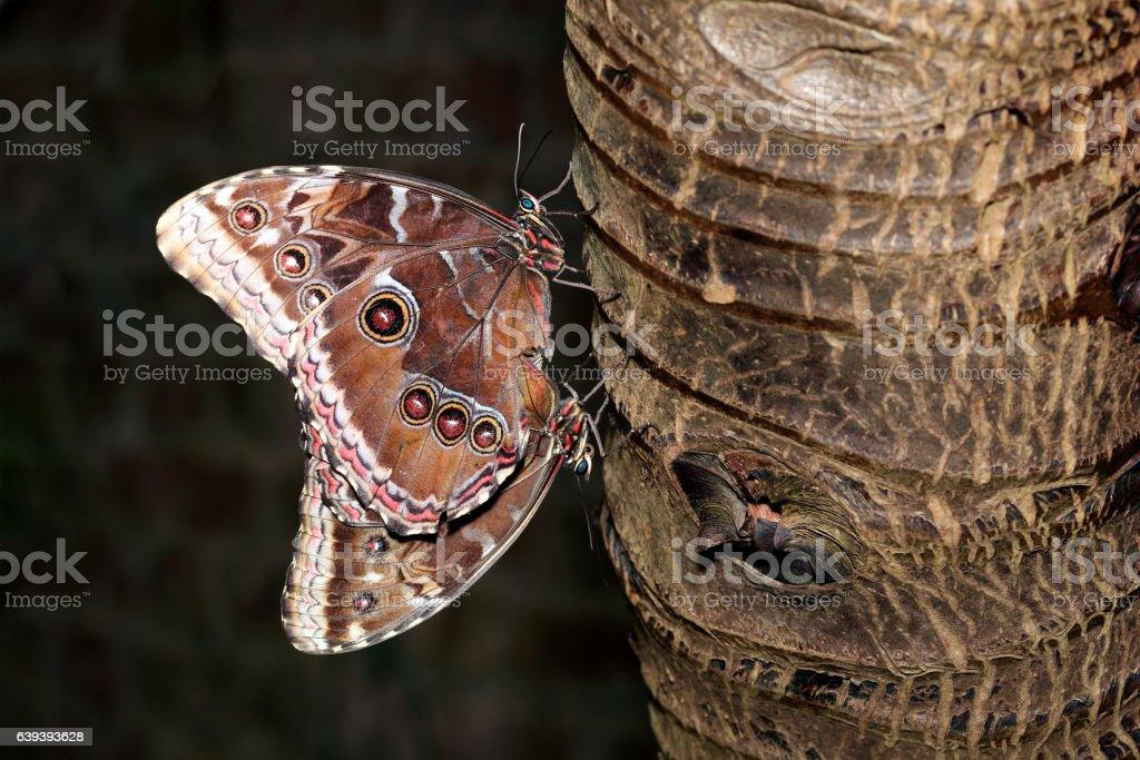 Blue Morpho butterflies mating stock photo