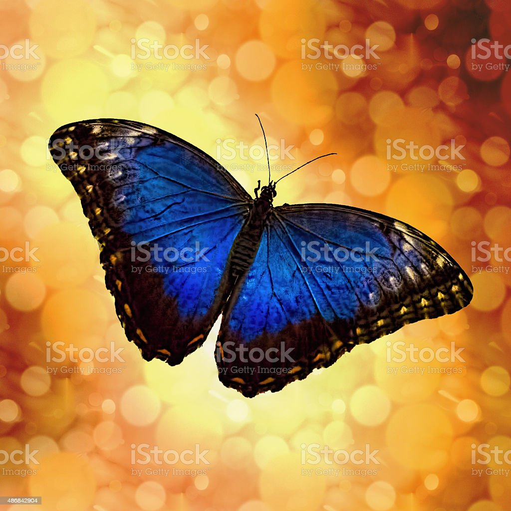 Blue Morpho Butterfly Bokeh stock photo