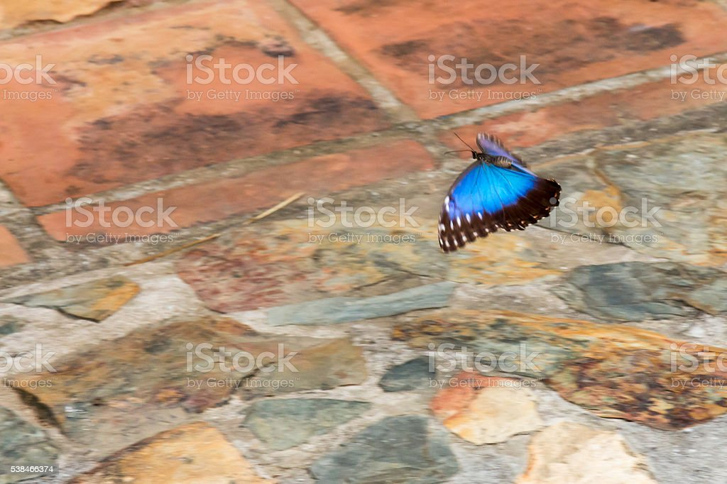 Blue morpho butterfly flying over a stone patio stock photo