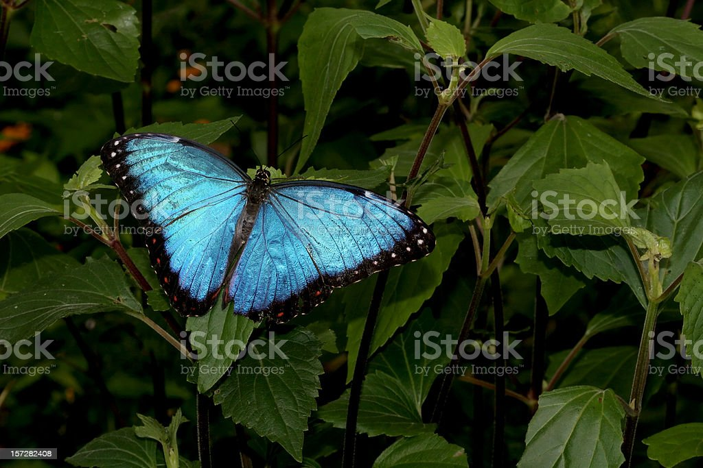 Blue Morpho Butterfly stock photo