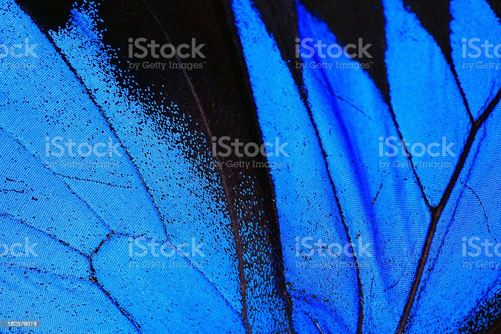 Blue Morpho Butterfly Wing Macro Close Up stock photo