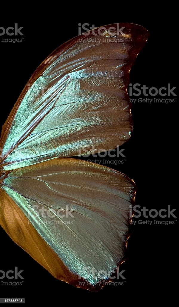 Blue Morpho Butterfly Wing stock photo
