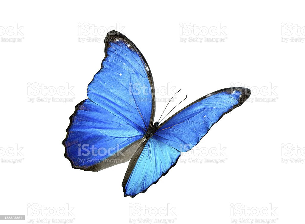 Blue morpho butterfly with black edges stock photo