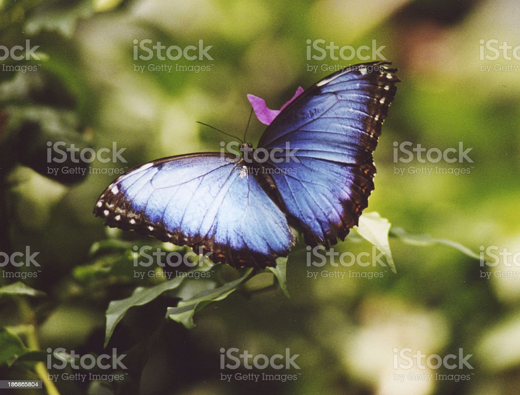 Blue Morphus Butterfly royalty-free stock photo
