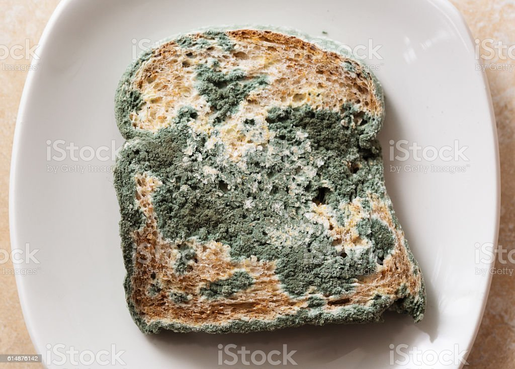Blue mould covers slice of very stale bread stock photo