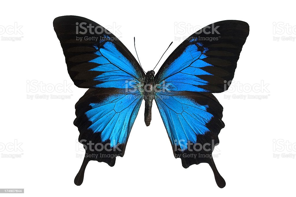 Blue Mountain Butterfly royalty-free stock photo