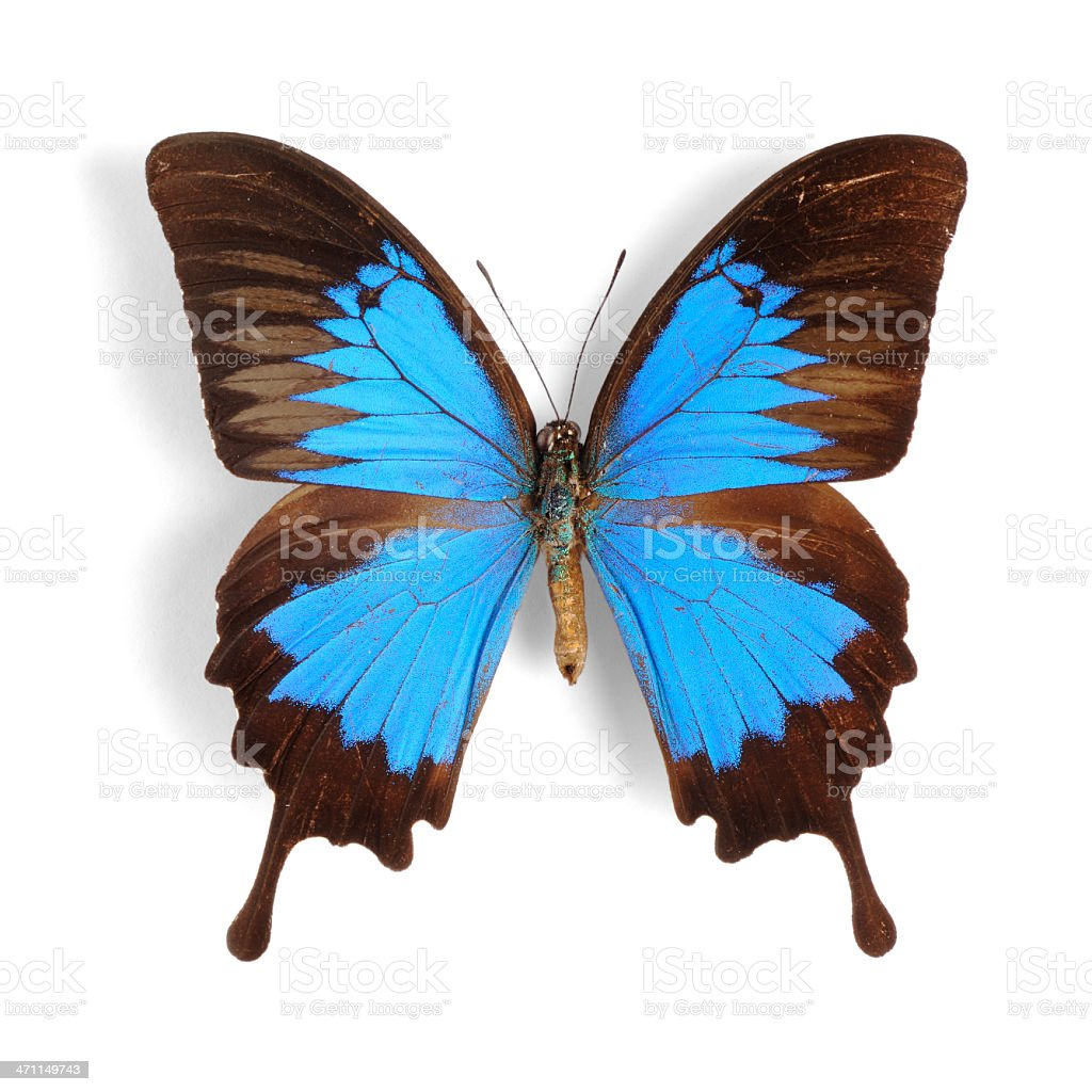 Blue Mountain Butterfly stock photo