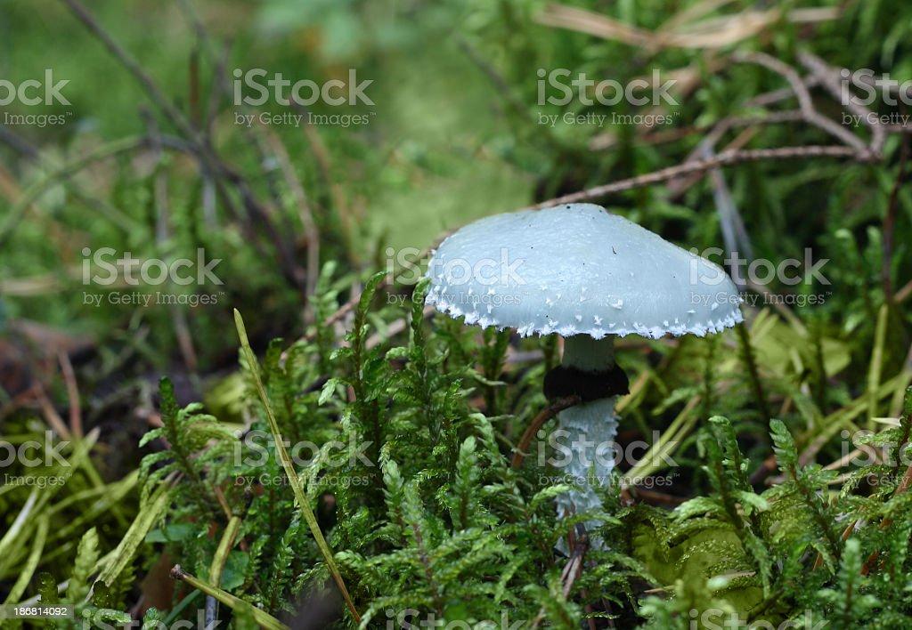blue mushroom royalty-free stock photo