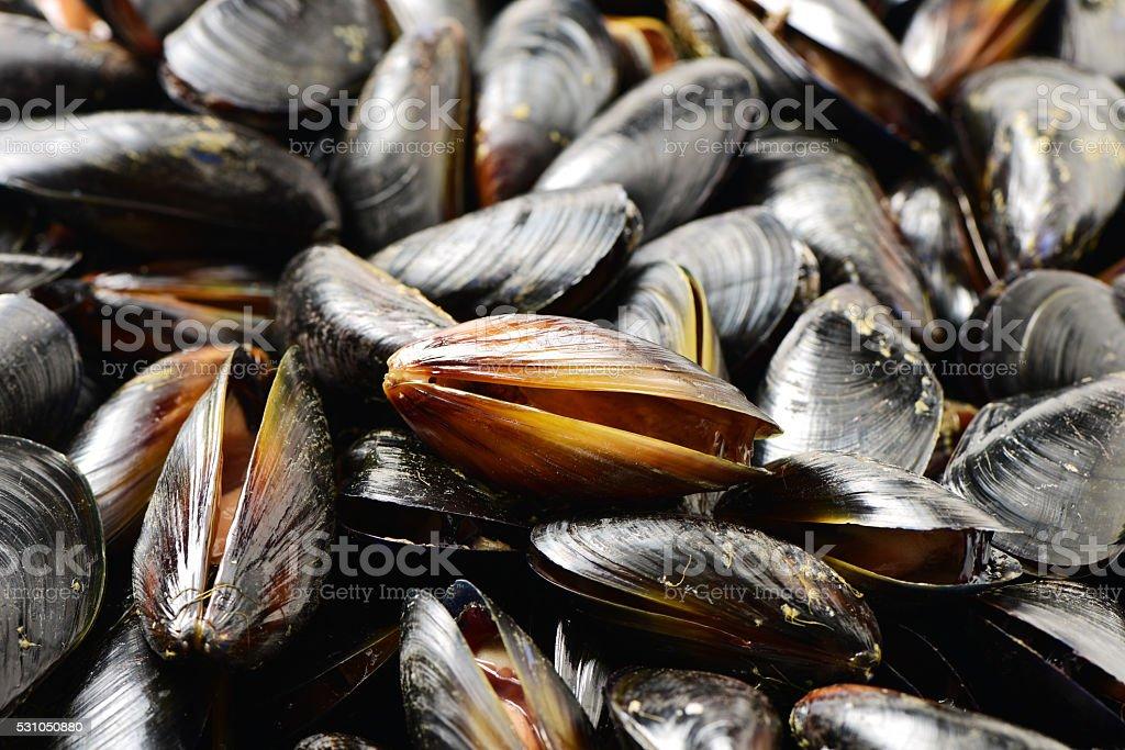 Blue mussel (Mytilus trossulus) stock photo