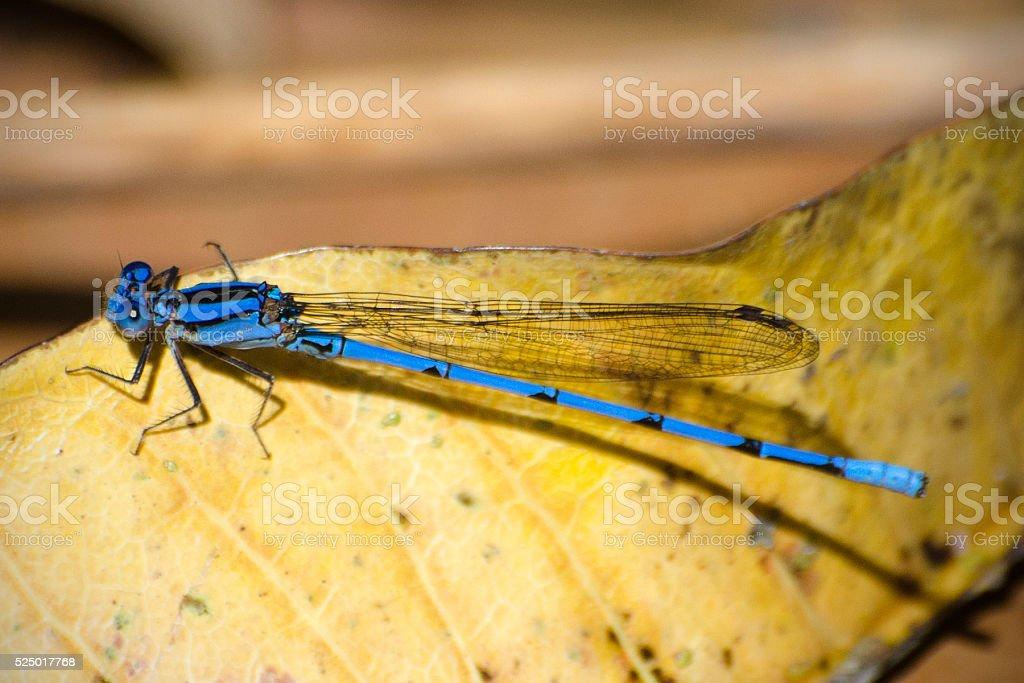 blue narrow-winged damselfly, Argia pulla stock photo
