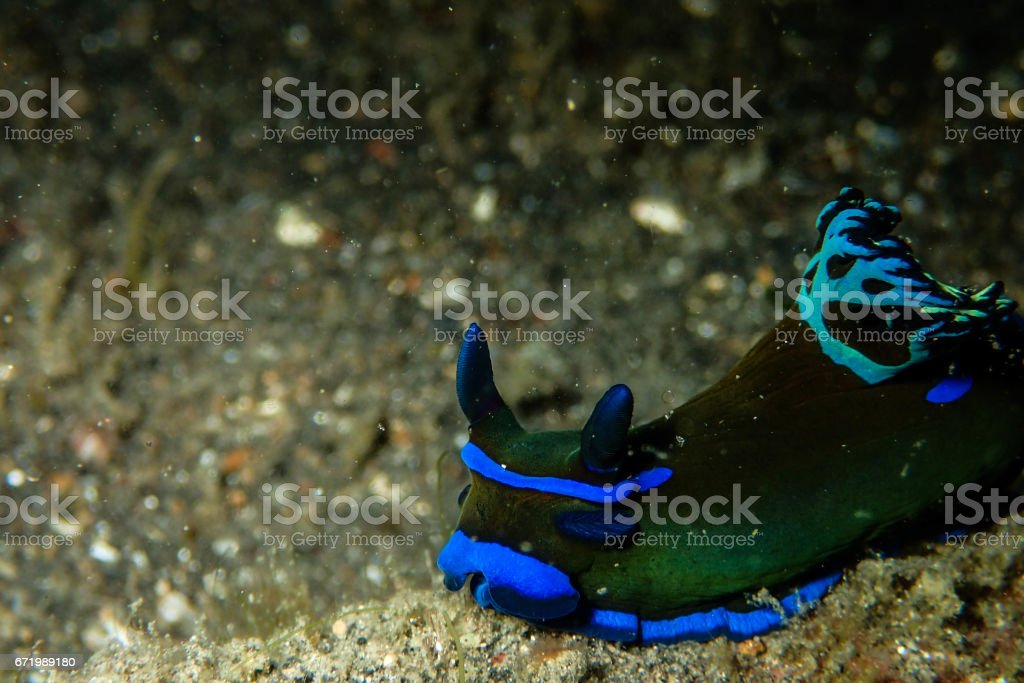 Blue Nudibranch stock photo
