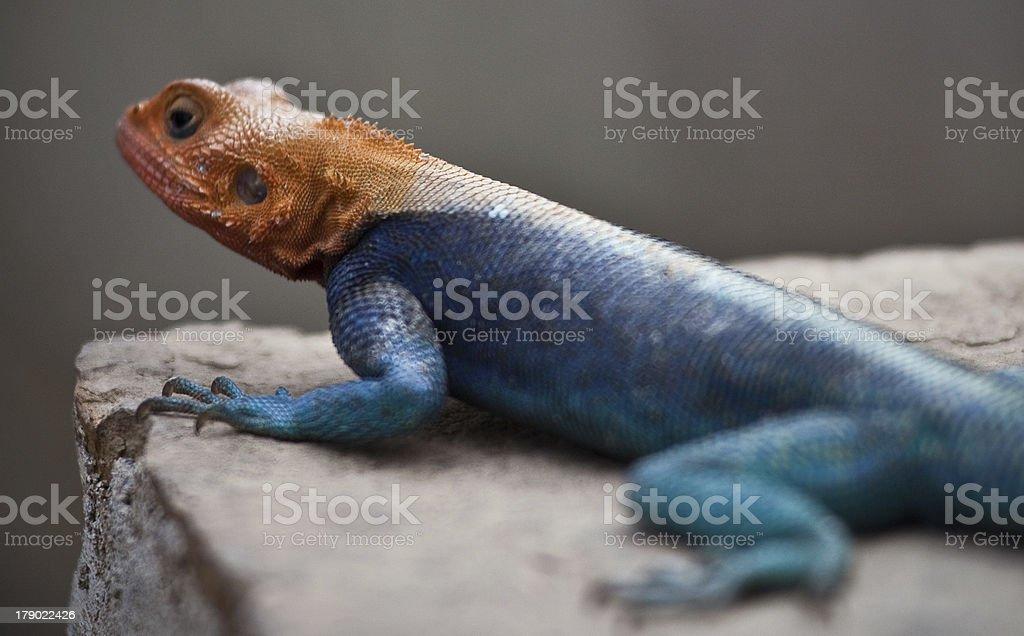 Blue Orange Agama stock photo