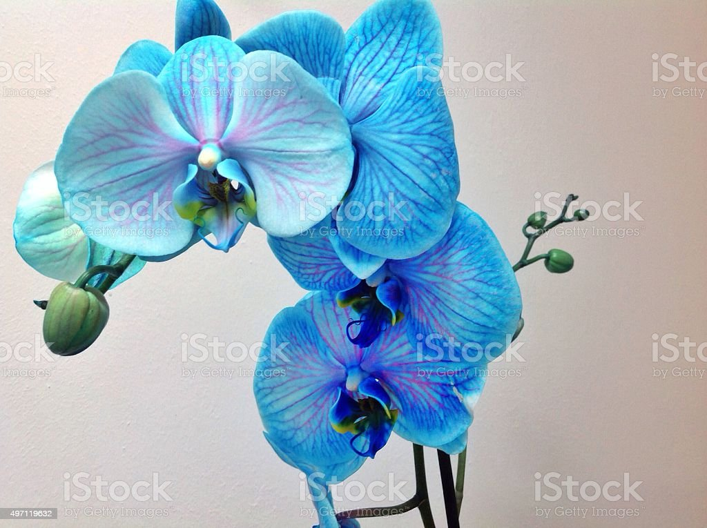 Blue Orchid Close up of branch of flowers white background stock photo