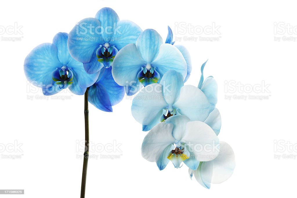 Blue Orchid, Isolated on White stock photo