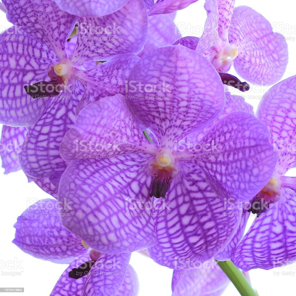 Blue orchid royalty-free stock photo