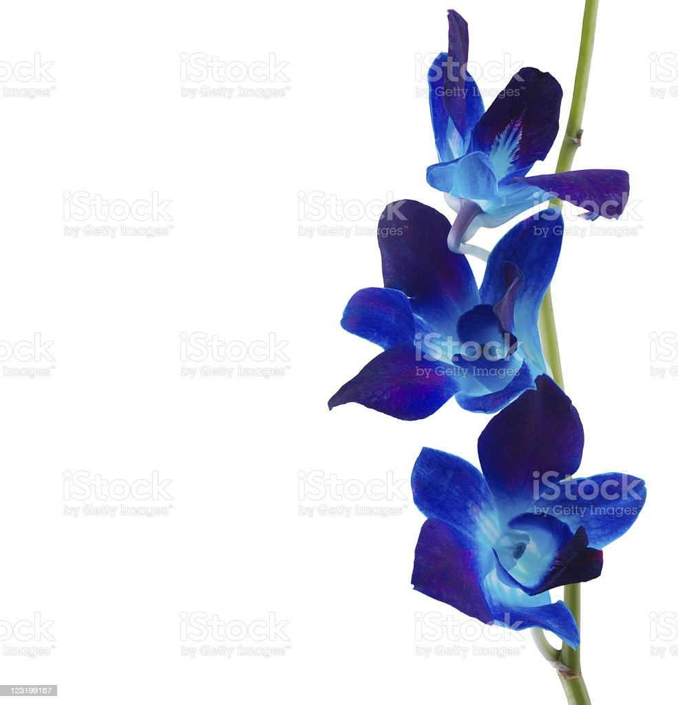 Blue orchids on white background royalty-free stock photo