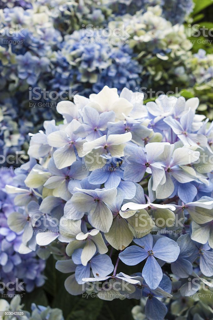 Blue Orthensia, Close-Up royalty-free stock photo