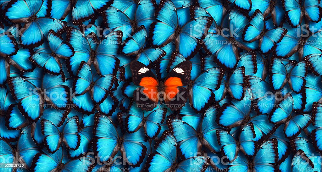 Large group of blue morpho butterflies as a background with one...