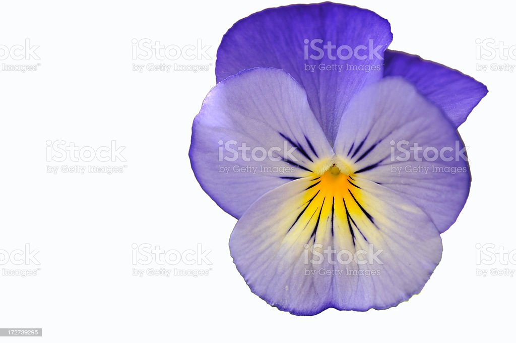 Blue Pansy on White stock photo
