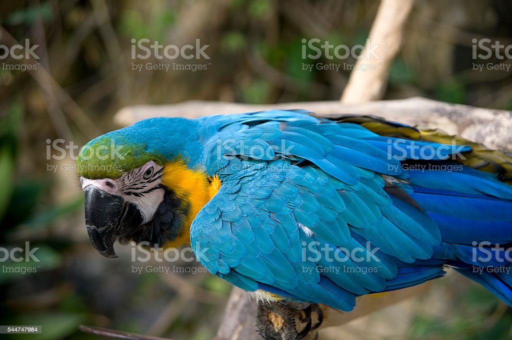 blue parrot on a natural background stock photo