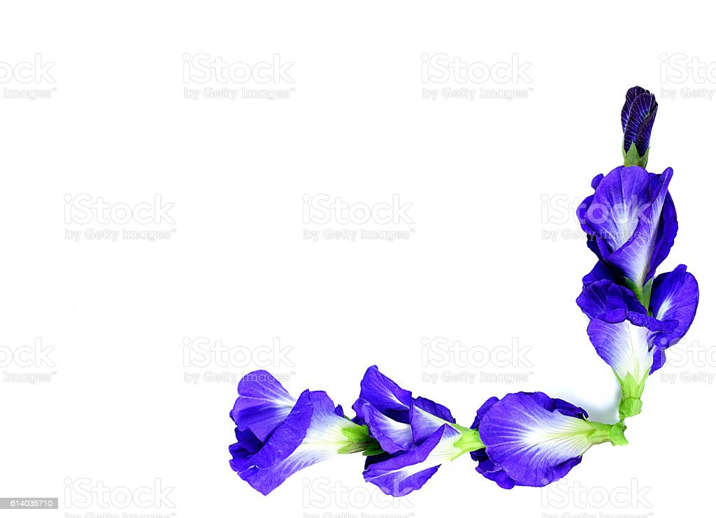 Blue pea butterfly pea close up on background stock photo