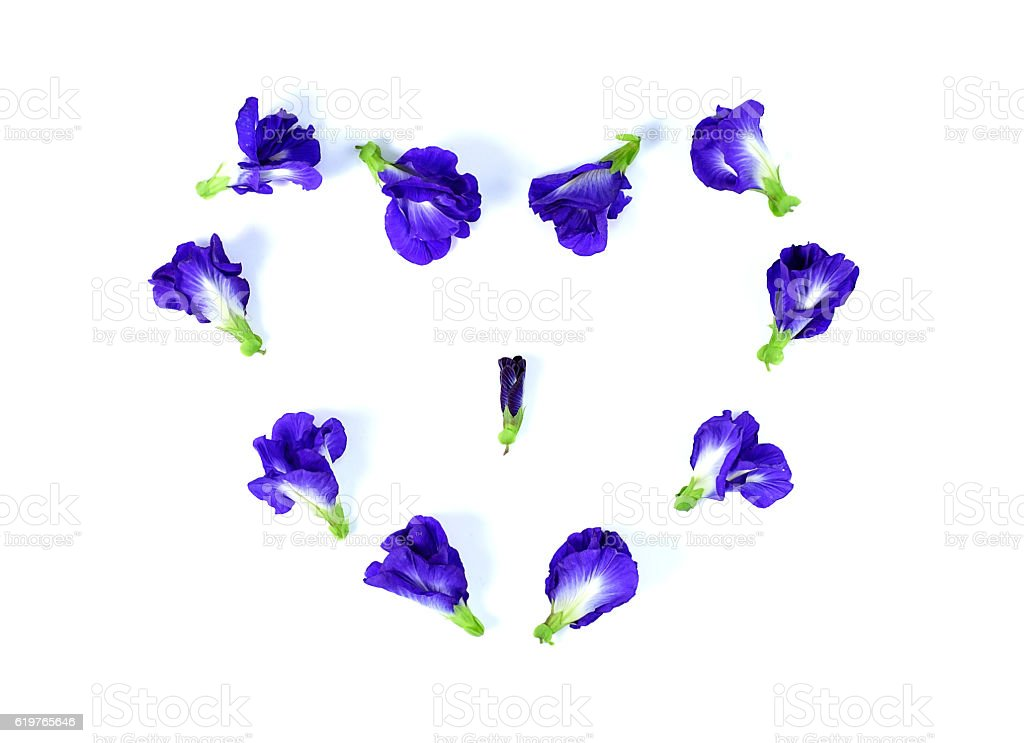 Blue pea butterfly pea close up on white stock photo