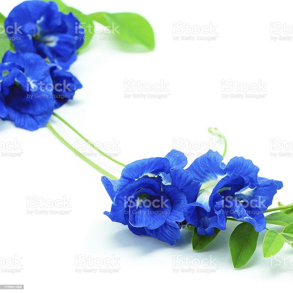 Blue Pea royalty-free stock photo
