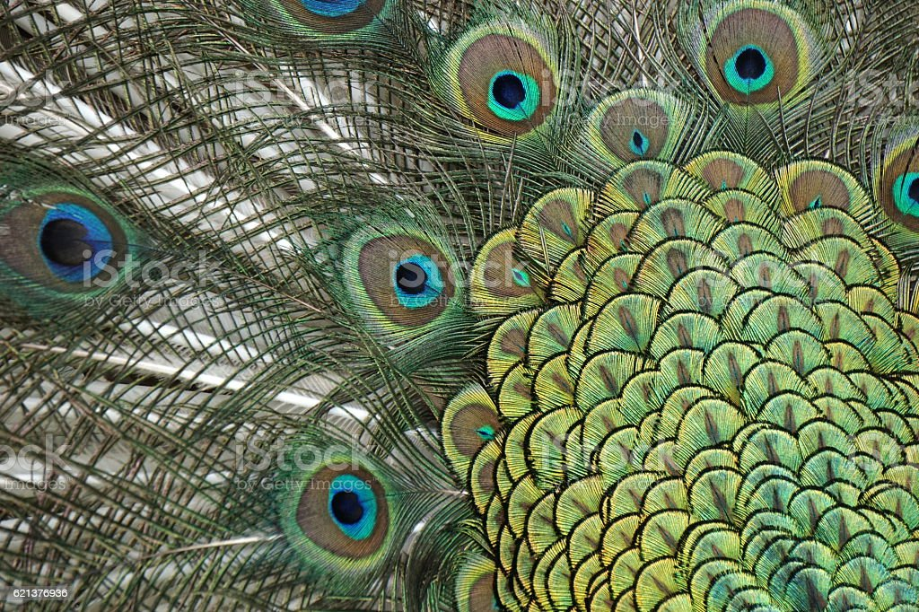 Blue Peacock Displaying stock photo